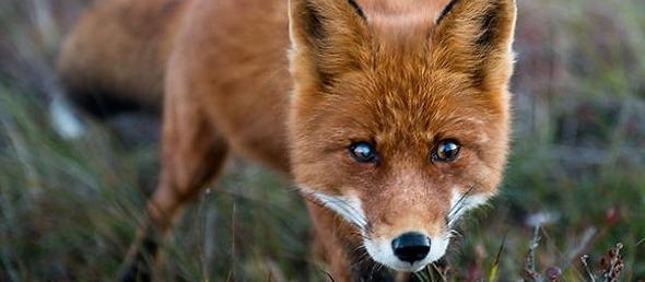 Increíbles fotografías de zorros silvestres tomadas por un minero