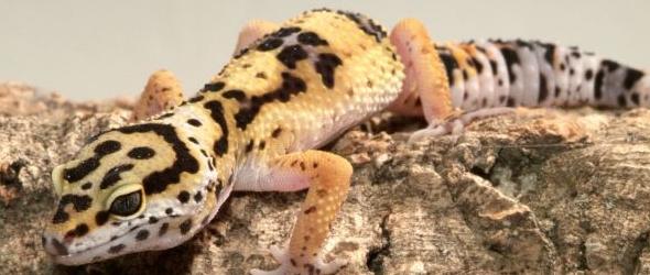 Consejos para cuidar geckos leopardo
