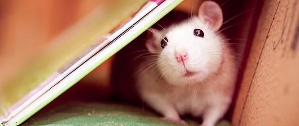 Fotografías que muestran la ternura de las ratas