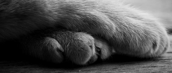 Lesiones en las almohadillas y patas del gato