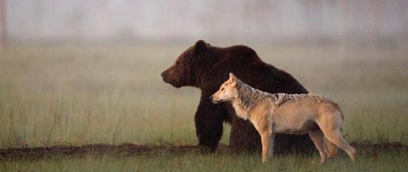 Fotografías de la impresionante amistad entre un oso y una loba