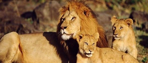 Leones datos y curiosidades del poderoso rey de la selva