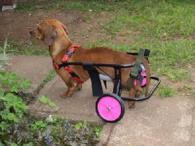 Aparatos ortopédicos para perros