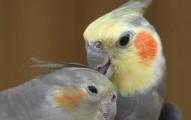 aves-las-mascotas-para-las-personas-de-edad-avanzada_srbdx