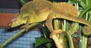 camaleones-en-casa_prth6