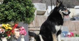 capitan-el-perro-que-vive-seis-anos-junto-a-la-tumba-de-su-amo_cibwv