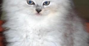 caracteristicas-y-cuidados-del-gato-persa_nlzep