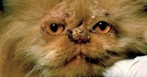 causas-de-la-perdida-de-pelo-en-gatos_we0rs
