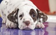 causas-de-los-temblores-en-los-perros_8z1ug