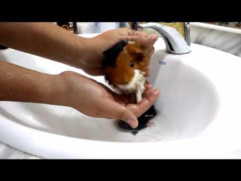 Como bañar una cobaya - Canal Mascotas