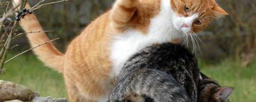 como-evitar-que-dos-gatos-peleen_61u3m