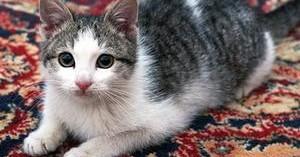 como-limpiar-la-orina-del-gato-de-las-alfombras_q24kg