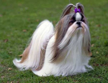 Como peinar un perro Shih Tzu