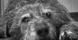 como-proteger-al-perro-anciano_cjv20