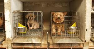 comprar-un-perro-y-reconocer-un-criadero-ilegal_il7t9