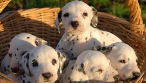 desparasitación cachorros