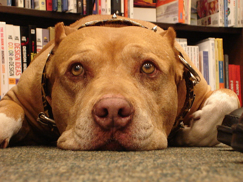Conozca un poco mas de los pit bull terrier americano