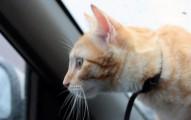 consejos-para-que-los-gatos-viajen-felices-en-coche_kwy6t