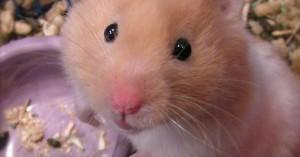 consejos-sobre-la-higiene-de-la-jaula-del-hamster_l5zqa