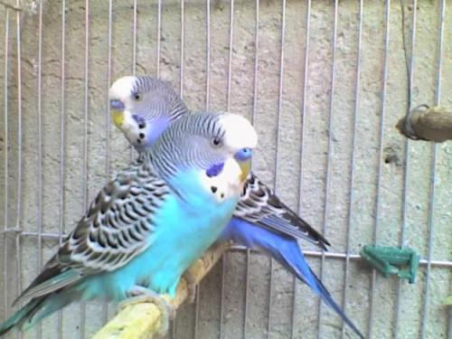 Cuidado y alimentación de los periquitos