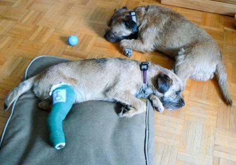 Cuidados báscios para un perro con fractura de cadera