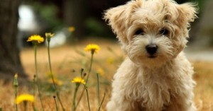 cuidados-basicos-en-perros-de-raza-pequena_w3vi1