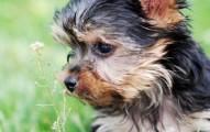 cuidados-de-los-perros-de-raza-pequena_upkiy