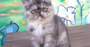 cuidados-del-gato-exotico_evgdo