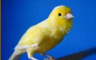 el-canario-y-su-canto_pbo85