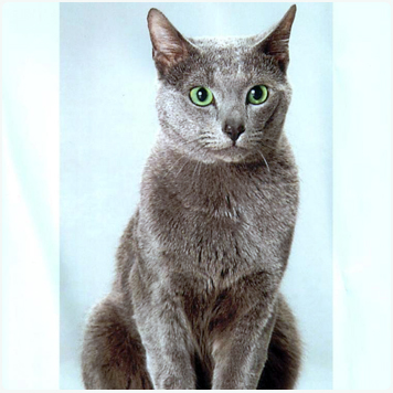 El gato ruso azul en casa canal mascotas - El gato en casa ...