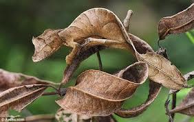 El Gecko de cola de hoja