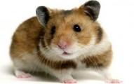 el-hamster-dorado_3hws7