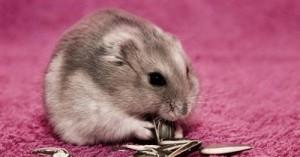 el-hamster-ruso_5vie7