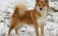 el-icelandic-sheepdog_fzx38