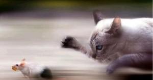 el-miedo-de-los-ratones-por-los-gatos_d9ai0