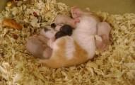 el-parto-en-los-hamsteres_0d3i8