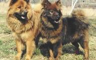 el-perro-eurasier_3fpcx