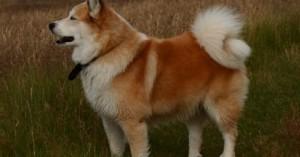 el-perro-pastor-de-islandia_921fy