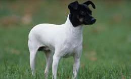 el-perro-terrier-japones_joylv