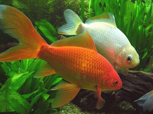El pez cometa canal mascotas for Peces de colores para acuarios