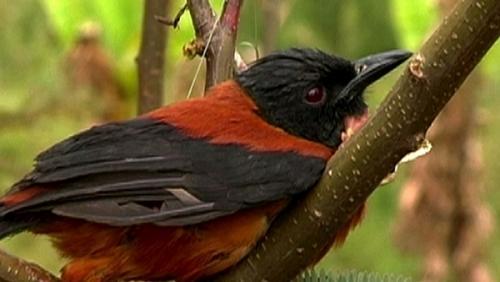 El Pitohuí, un ave muy venenosa