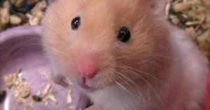 enfermedades-comunes-de-los-hamsteres_f5dgp