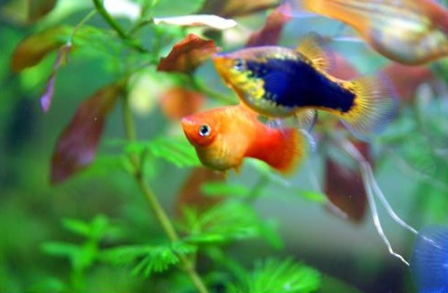 Enfermedades comunes en los peces de acuario canal mascotas for Peces de colores para acuarios
