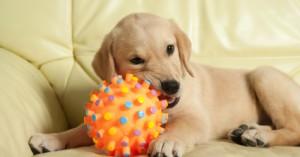 entrenando-al-perro-para-que-deje-de-morder-objetos_zk9h6