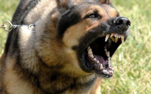 Etapas de la rabia canina