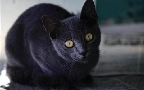 Gato azul Cubano