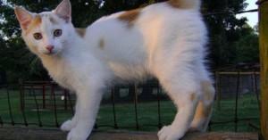 gato-manx_5ph9s