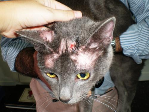 Gatos: enfermedades por hongos