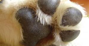 heridas-y-quemaduras-en-las-almohadillas-de-las-patas-del-perro_4p3xs