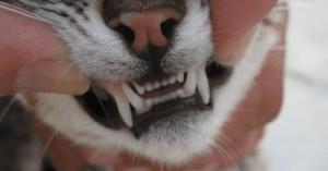 higiene-bucal-y-limpieza-de-los-dientes-del-gato_zrj12